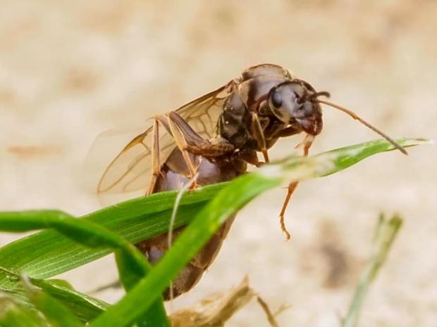 Flying Ant Day This Is Why There Are Lots Of Flying Insects Around Today Basingstoke Gazette