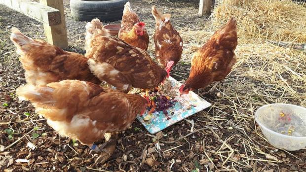 Basingstoke Gazette: Hens need a home. (Facebook/ Fresh Start for Hens)