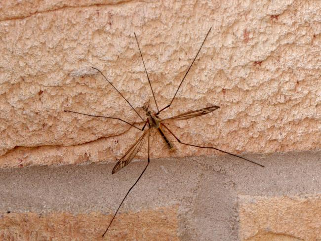 Why your home is being invaded by Daddy Long Legs