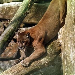 Sightings of a 'big cat' described as similar to a puma are being treated as authentic, a council said