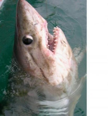 The shark which Graeme caught in 2012