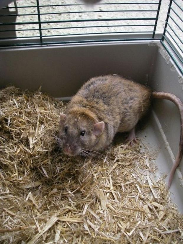 Pet rat abandoned in South Ham churchyard