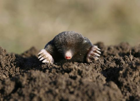 Wetter weather results in more moles