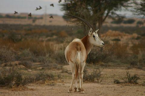 The Scimitar-horned Oryx is one of the species Marwell is reintroducing to its natural environment