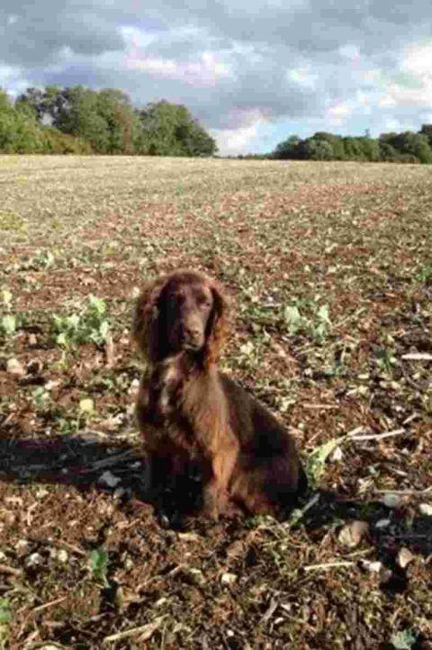 Nine-month-old cocker spaniel Tia, stolen from Owslebury