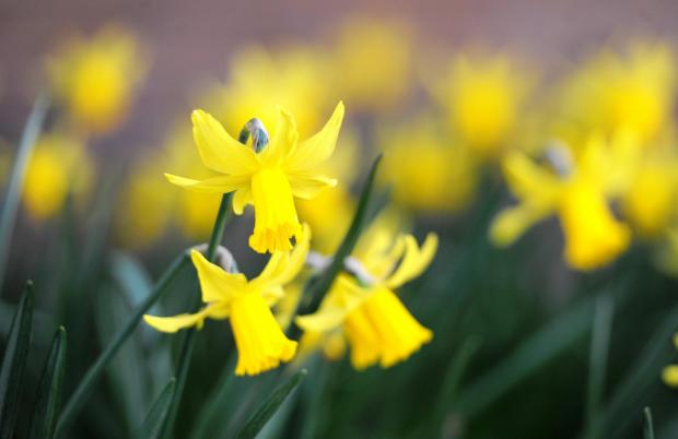 Daffodil garden to open to the public this weekend
