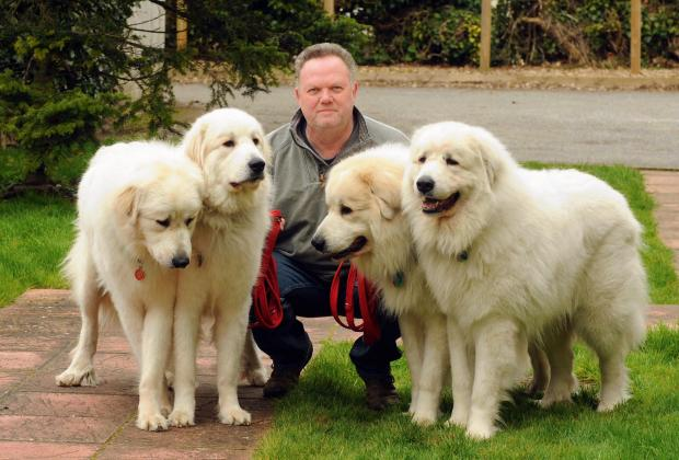 Paul Meakin with his four Pyrenean Mountain Dogs, who all competed at Crufts.
