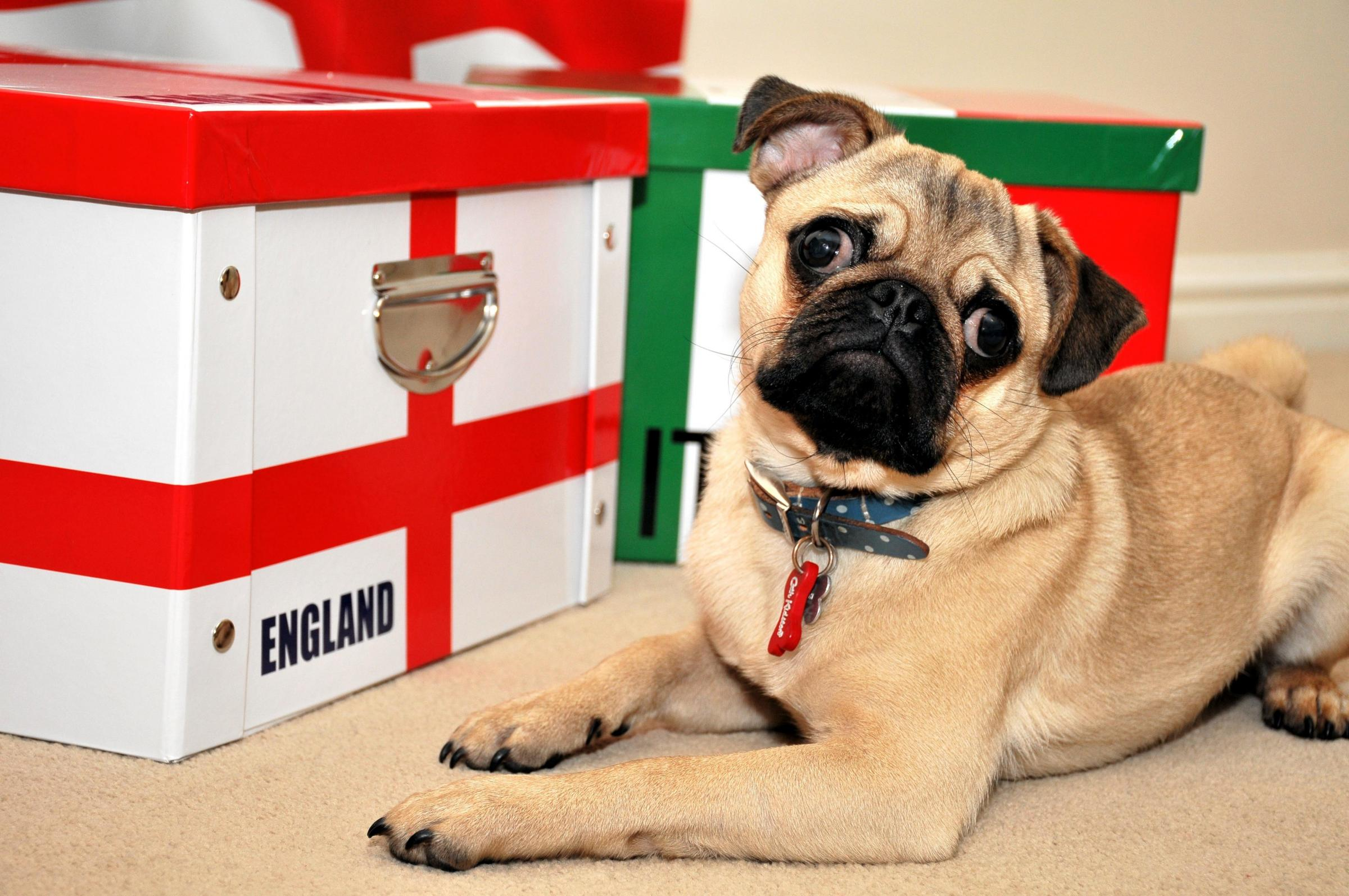 Doug the Pug mulls over his World Cup predictions