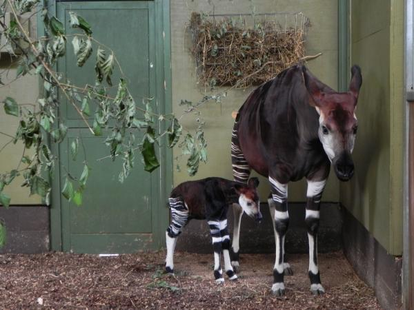Dikembe the Okapi calf with mum Dumela