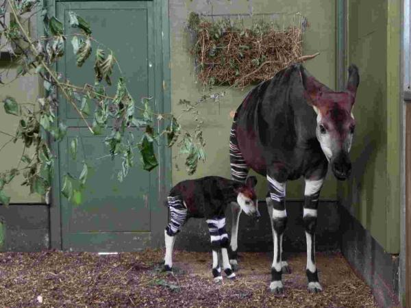 The Okapi calf, named Dikembe, was born to mum Dumela and dad Shomari on Monday.